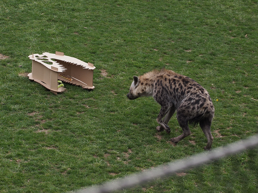 Animation, Hyena interacts with cardboard structure in the shape of a dinosaur skull
