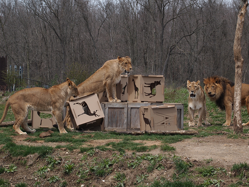 Animaiton, Lions in enclosure interact with stacked cardboard cubes
